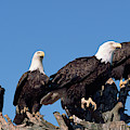 Bald Eagles Quartet by Yva Momatiuk and John Eastcott
