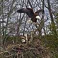 Bald Eagles At Nest by MTBobbins Photography