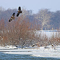 Bald Eagles At Providence Dam 1107 by Jack Schultz