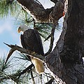 Bald Eagles Eye View by Patricia Twardzik