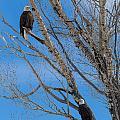 Bald Eagles by Michael Chatt