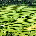 Bali Indonesia Rice Fields by Bob Christopher