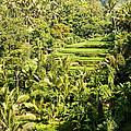 Bali Sayan Rice Terraces by Rick Piper Photography