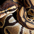 Ball Python Python Regius by David Kenny