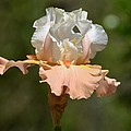 Ballerina Iris by Maria Urso