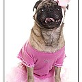 Ballerina Pug Dog by Edward Fielding