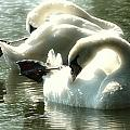 Ballet Of Swans  by Nick Difi