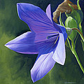 Balloon Flower by Alecia Underhill