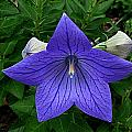 Balloon Flower by Julie Dant