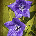 Balloon Flower by Marcia Colelli
