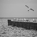 Baltic Sea-gulls by Ralf Kaiser