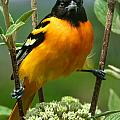 Baltimore Oriole by Bruce Morrison