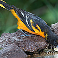 Baltimore Oriole Drinking by Anthony Mercieca