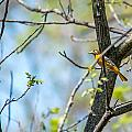 Baltimore Oriole by Edward Peterson