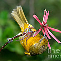 Baltimore Oriole Feeding On Coral Bean by Anthony Mercieca
