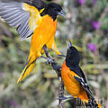 Baltimore Orioles by Anthony Mercieca