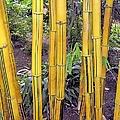 Bamboo by Bob Slitzan