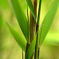 Bamboo Branches Emerge by Nathan Abbott