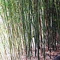 Bamboo By Roadsides Cherry Hill Roadside Greens            by Navin Joshi