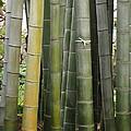Bamboo by Eena Bo