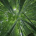 Bamboo Forest 1 by M Swiet Productions