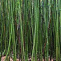 Bamboo Forest 3 by M Swiet Productions