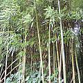 Bamboo Forest by Anastasia Konn