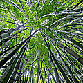 Bamboo Forest by Duke Johnson