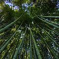 Bamboo Forest Horizontal by Matt Swinden