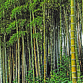 Bamboo Hill by Elvis Vaughn