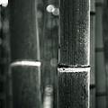 Bamboo Noir by Brad Brizek