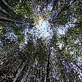 Bamboo Sky by Ed Weidman