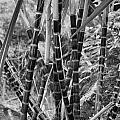 Bamboo-waimea Arboretum  by Douglas Barnard