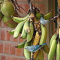 Banana Birds by Lew Davis