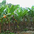 Banana Field by Jeelan Clark