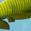Banana Leaf And Maui Sky by Sharon Mau