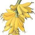 Banana by Spencer McKain