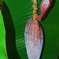 Banana Tree Bud by Connie Fox