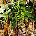 Banana Tree by Karol Kozlowski