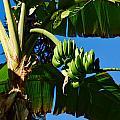 Bananas by Jouko Lehto