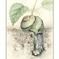 Banded Garden Snail  by Megan Kunst
