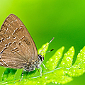 Banded Hairstreak Butterfly by Photography  By Sai
