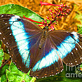 Banded Morpho Butterfly by Millard H. Sharp
