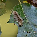 Banded Tussock Moth Caterpillar by Maria Urso
