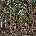 Banyan Tree At Folly by Vidal Smith Jr