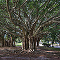 Banyan Tree Reaching For The Sky by Gerald Adams