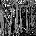 Banyan Trees by Denise Mazzocco
