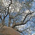 baobab from Madagascar 9 by Rudi Prott