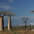 baobab parkway of Madagascar by Rudi Prott