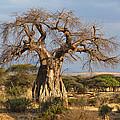 Baobab Tree Ruaha Np Tanzania by Konrad Wothe